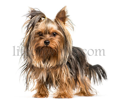 Yorkshire Terrier in front of white background