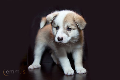 Hvolpar_-_Icelandic_Sheepdog_puppies_emm.is-4