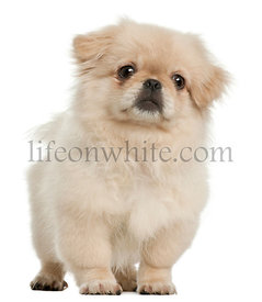 Pekingese puppy, 5 months old, standing in front of white background