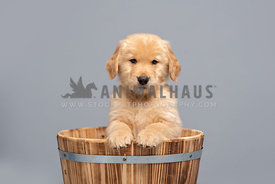 golden retriever puppy in a wooden bucket