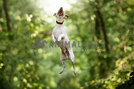 Jack Russel Terrier jumping in the forest