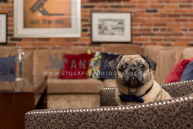 Pug sitting on chair with mouth closed in livingroom