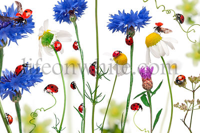Seven-spot ladybird or seven-spot ladybugs on daisies, cornflowers and plants, Coccinella septempunctata, in front of white b...