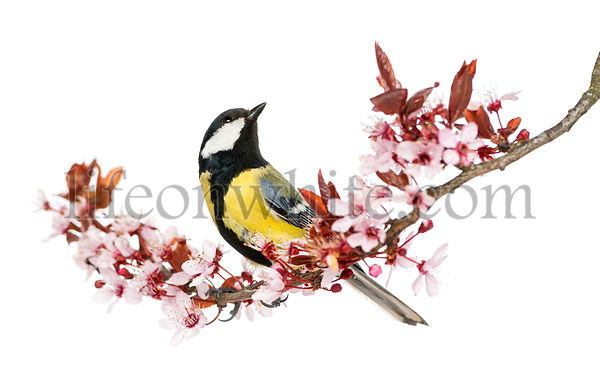 Male great tit looking up, perched on a flowering branch, Parus major, isolated on white