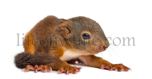 Baby Red squirrel in front of a white background