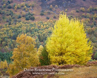 Prints & Stock Image - Small group of Aspen trees, Populus tremula, in Glen Lyon, Perth and Kinross, Scotland.
