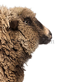 Close-up of Crossbreed sheep in front of white background