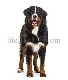 Bernese Mountain Dog, 10 months old, standing against white background