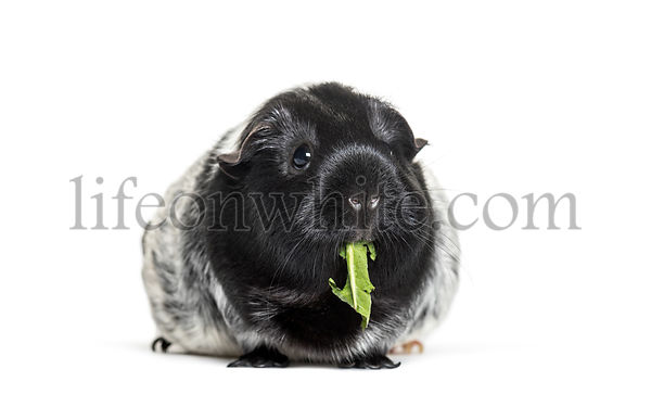 Guinea pig eating leaf against white background