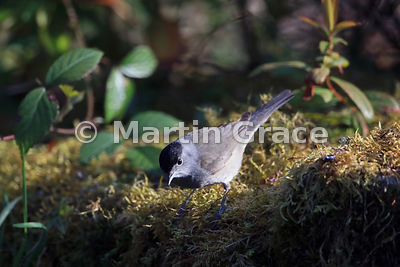 Male Eurasian Blackcap (Sylvia atricapilla), Lake District National Park, Cumbria, England