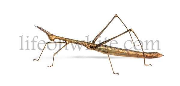 Horsehead Grasshopper, Pseudoproscopia scabra, in front on white background