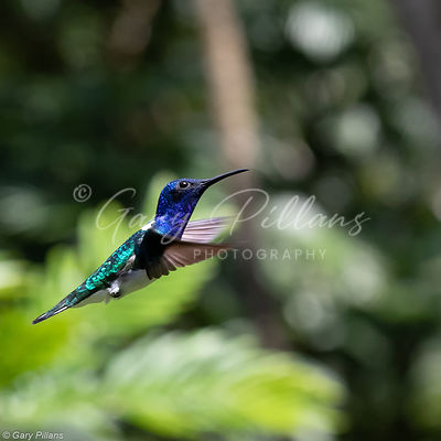 White Necked Jacobin Male