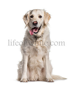 Golden Retriever sitting against white background