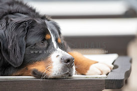 close up of bernese mountain dog laying down