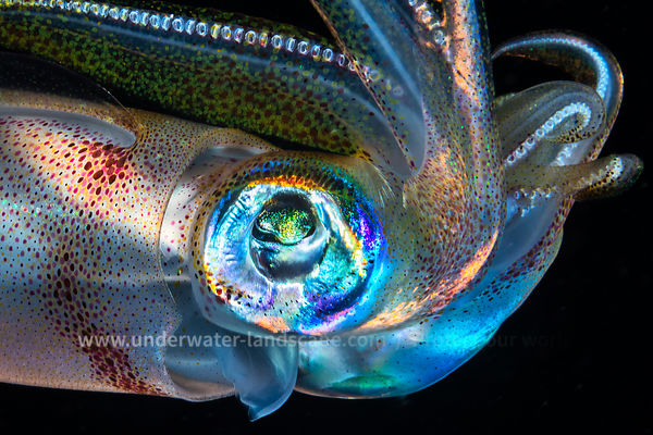 Eye of Squid