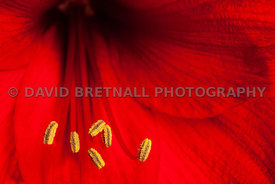 Amaryllis Pollen and Curved Stamens 1