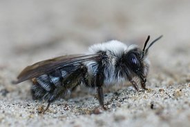 Closeup of a female of the grey backed mining bee, Andrena vaga on sandy soil