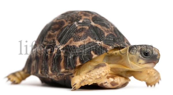 Radiated tortoise, Astrochelys radiata, 3 weeks old, in front of white background