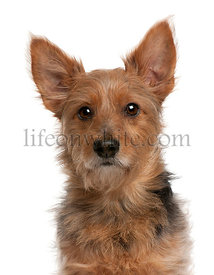 Australian Terrier dog, 9 years old, in front of white background