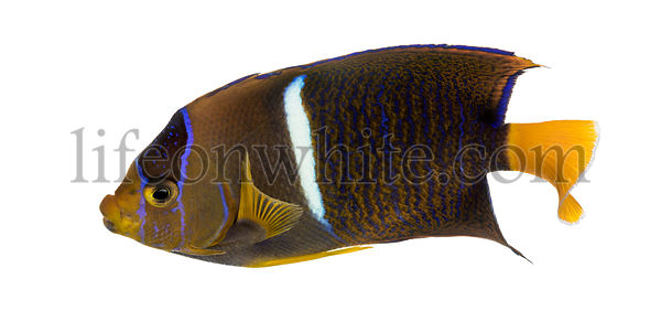 Passer Angelfish viewed from up high, Holacanthus passer, isolated on white