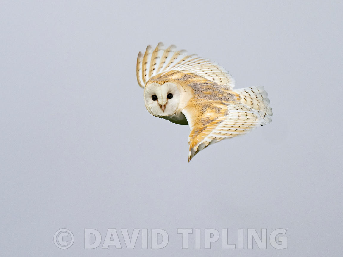 Barn Owl Tyto alba hunting North Norfolk, February