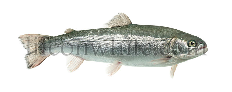 Blue rainbow trout swimming, isolated on white