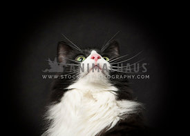 Headshot of tuxedo cat looking up  with dramatic black background