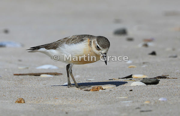 North Island subspecies of New Zealand Dotterel (Charadrius obscurus aquilonius) foraging on Otama Beach, Coromandel Peninsul...