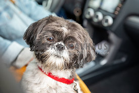 A Shih Tzu riding shotgun in a car