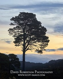 Image - Scot Pine tree silhouetted against a dawn sky. Glen Affric, Inverness, Highland, Scotland.