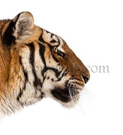 side view on a Tiger's head, isolated