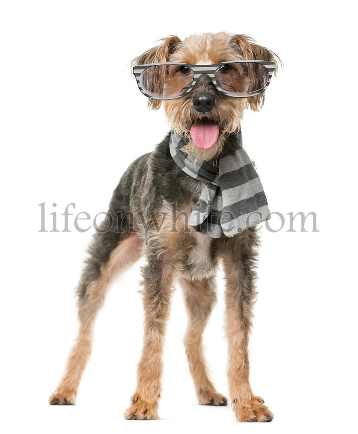 Fox Terrier wearing a scarf and glasses in front of a white background