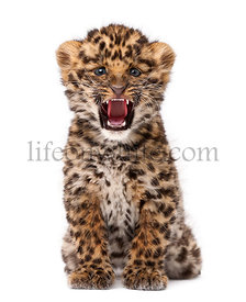 Amur leopard cub, Panthera pardus orientalis, 9 weeks old, roaring against white background