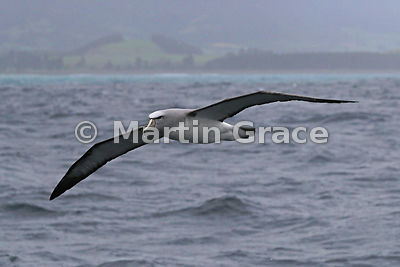 Salvin's Mollymawk (Salvin's Albatross) (Thalassarche salvini) in flight in heavy rain, Kaikoura, Canterbury, South Island, N...