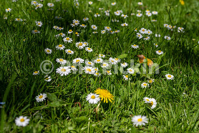 Patch of daisies in a lawn