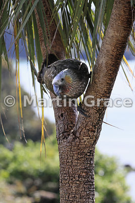 South Island & Stewart Island Kaka (Nestor meridionalis ssp meridionalis) in a New Zealand Cabbage Tree (Cordyline australis)...