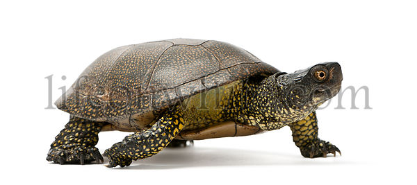 European pond turtle, Emys orbicularis, in front of white background