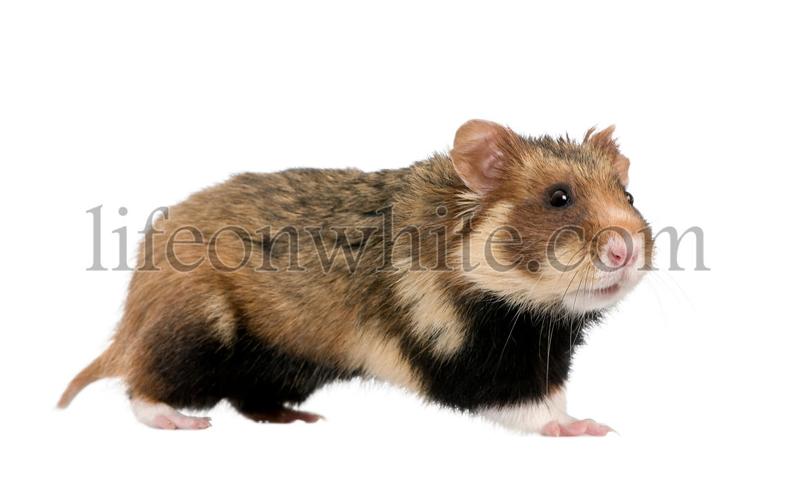 Side view of European Hamster, Cricetus cricetus, against white background, studio shot