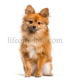 Keeshond sitting in front of white background