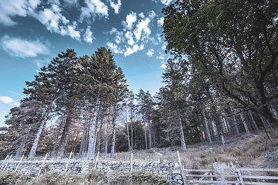 Pine forest in rural UK.