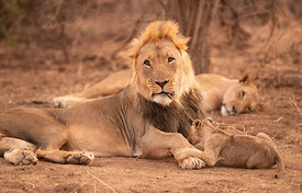 Lion Family, Erindi Game Reserve