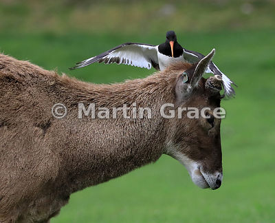 Eurasian Oystercatcher (Haematopus ostralegus) attacking a Thorold's (or White-Lipped) Deer (Przewalskium (or Cervus) albiros...