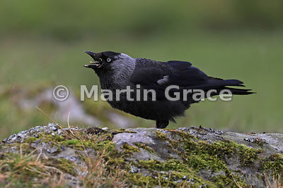 Western Jackdaw (Corvus monedula) struggling to swallow, Badenoch & Strathspey, Scottish Highlands