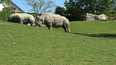Rhinoceros-Zooparc-de-Beauval_Mir-Photo-ADT41