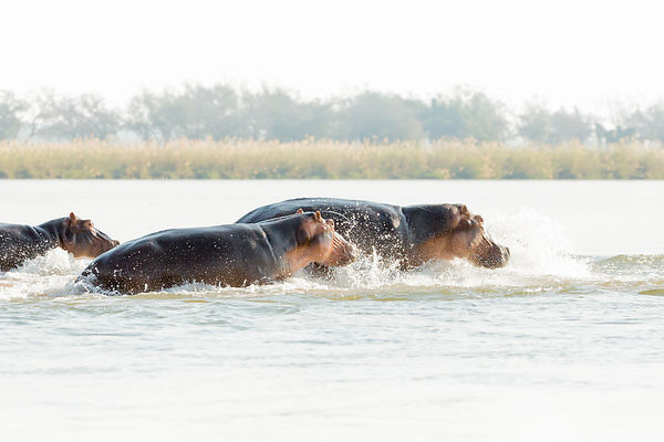 Hippos Crossing Zambezi River II