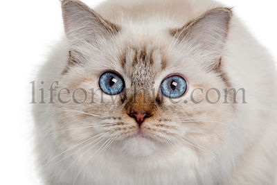 close up of a Ragdoll (10 months old)