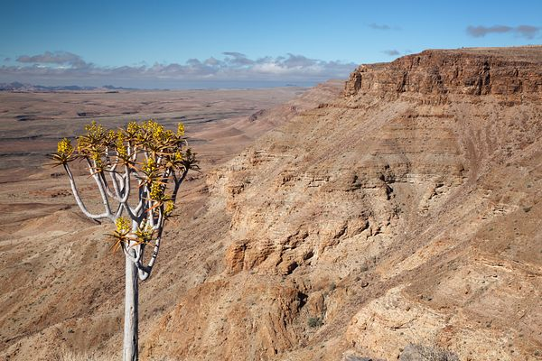 Daytime view of the west side of Fish River Canyon with Quiver Tree (Aloë dichotoma) in foreground, southern Namibia.