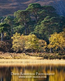 Image - Native Caledonian pinewoods, Loch Clair, Torridon, Wester Ross, Highland, Scotland