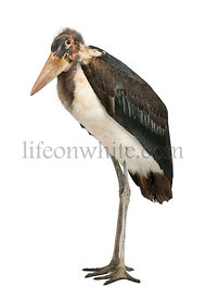Portrait of Marabou Stork, Leptoptilos crumeniferus, 1 year old, standing in front of white background