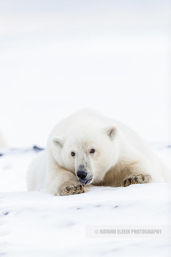 Polar bear cub licking its front paw in Spitsbergen, Norway